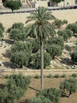 Phoenix dactylifera (Echte Dattelpalme), Jerusalem, Israel