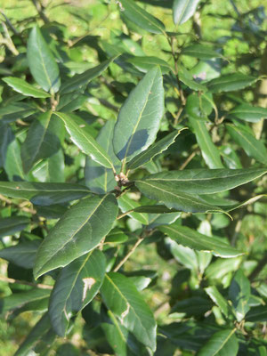 Steineiche, Quercus ilex