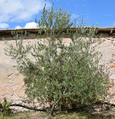 Olea europaea (Olivenbaum) im Burgund, AUgust 2017