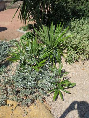 Rhapidophyllum hystrix (Nadelpalme) im Botanischen Garten von Lyon
