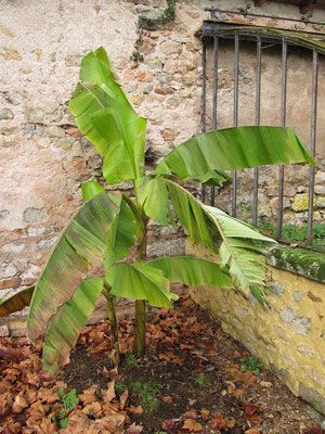 Musa basjoo (Japanische Faserbanane) anfangs Januar 2012, es gab noch praktisch kein starken Frost, deshalb sind die Blätter noch intakt
