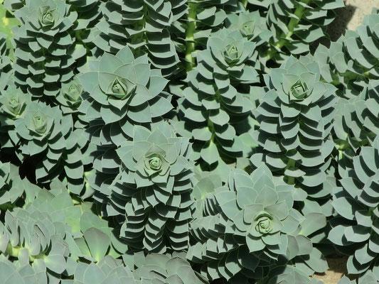 Euphorbia myrsinites (Walzen-Wolfsmilch)