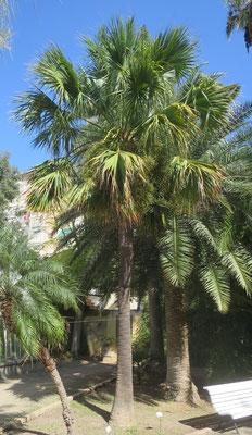 Sabal palmetto im Botanischen Garten von Valencia