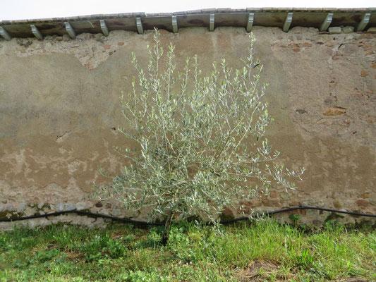 Olive, Olea europea