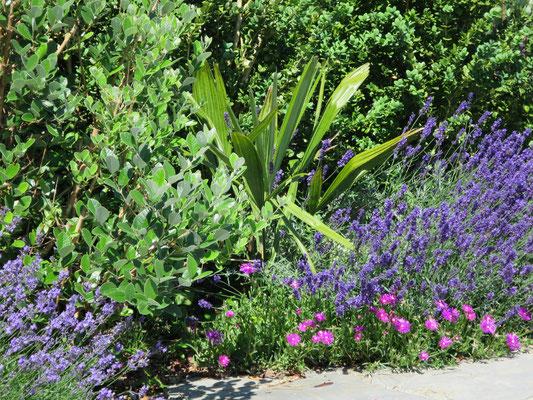 Rhapdophyllum hystrix umgeben von Delosperma cooperi, Acca sellowiana und Lavendel