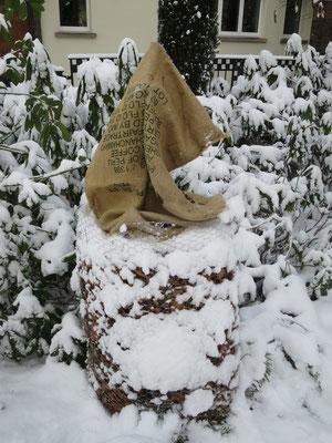 Wollemia nobilis mit Winterschutz im Garten in Schaffhausen im Januar 2017