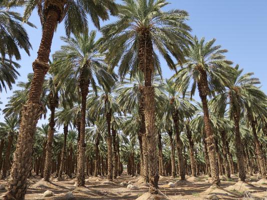 Plantage von Phoenix dactylifera (Echte Dattelpalme), Totes Meer, Palästina