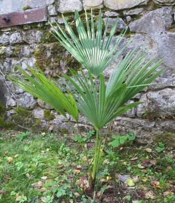 Trachycarpus oreophilus im Oktober 2015 im Burgund