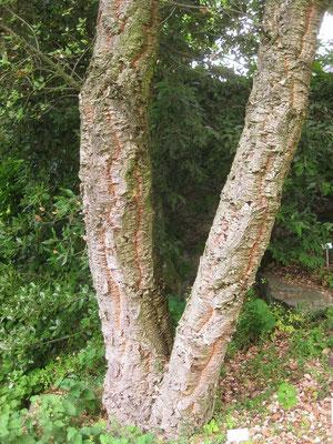 Stamm von Quercus suber (Korkeiche) im Botanischen Garten in Zürich (CH)