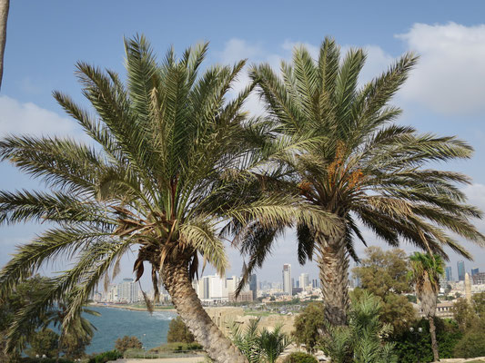 Phoenix dactylifera (Echte Dattelpalme), Tel Aviv, Israel