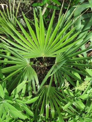 Trachycarpus princeps (new form, hybrid) im Juni 2015