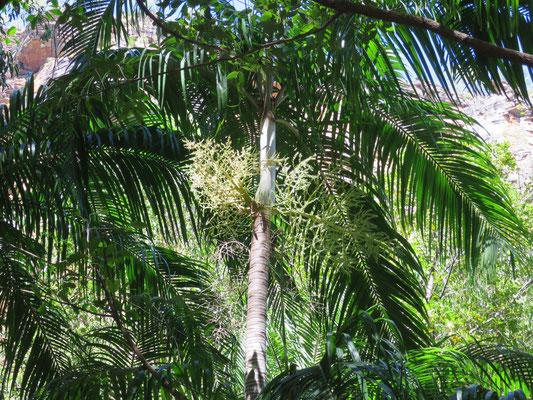 Blütenstand von Carpentaria acuminata, Jim Jim Falls, Kakadu-Nationalpark