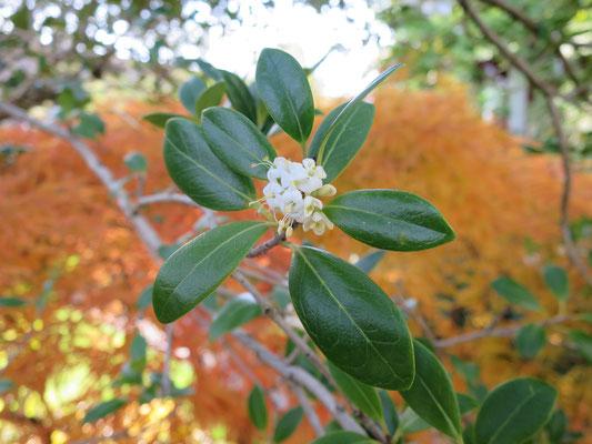 Osmanthus heterophyllus (Duftblüte)