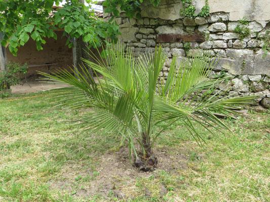 Jubaea chilensis direkt nach der Auspflanzung im April 2014