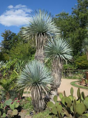 Yucca rostrata im Botanischen Garten von Lyon