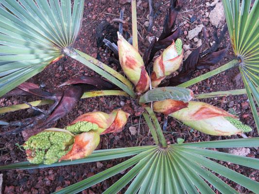 Trachycarpus nanus im Mai 2015 mit vier Blütenständen