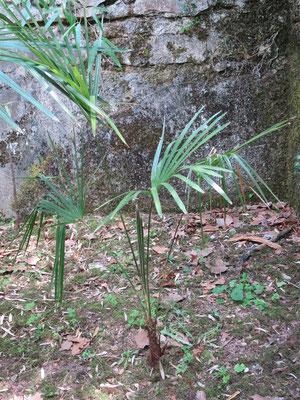 Trachycarpus sp. 'Nova'