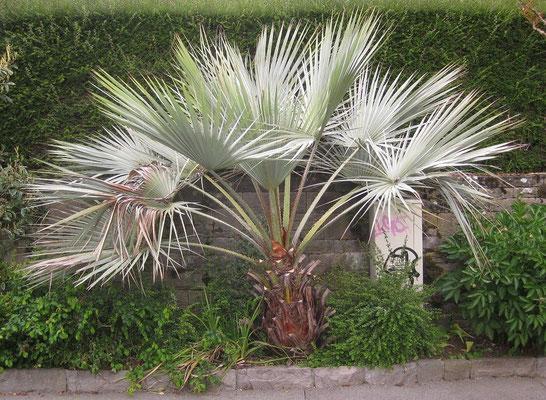 Jungpflanze von Brahea armata in Montreux am Genfersee