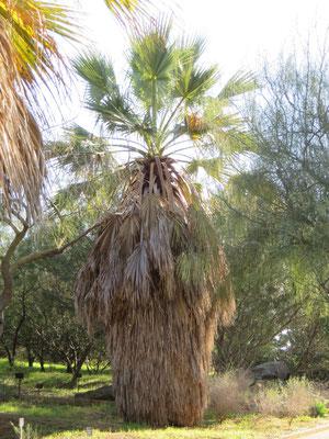 Washongtonia filifera