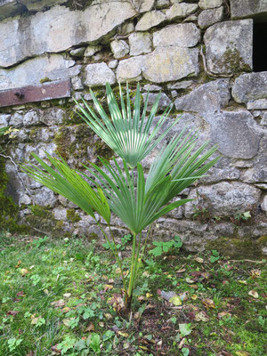 Trachycarpus oreophilus (Thai-Hanfpalme)