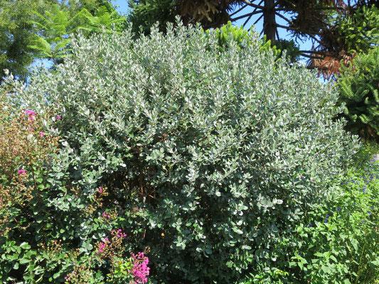 Acca sellowiana (Ananasguave) im Botanischen Garten von Lyon