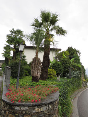 Butia sp. (Geleepalme) und Washingtonia filifera (Petticoat-Palme) in Ronco, Tessin (CH)