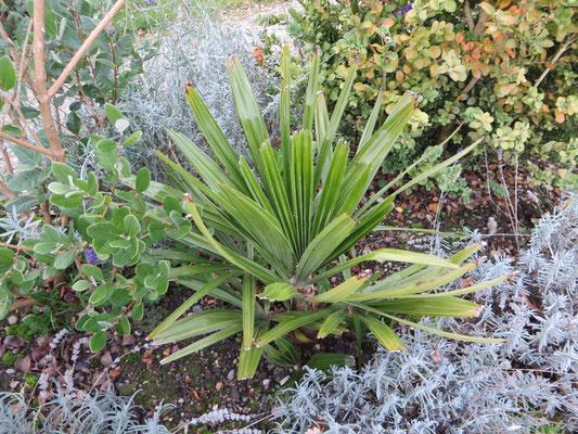 Rhapidophyllum hystrix, Nadelpalme, November 2013