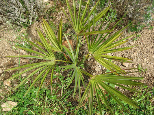 April 2009: Trachycarpus nanus hat den ersten Winter gut überstanden