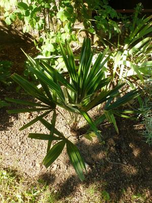 Rhapidophyllum hystrix im Burgund im August 2013