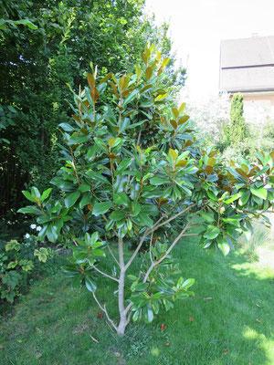 Magnolia grandiflora (Immergrüne Magnolie)