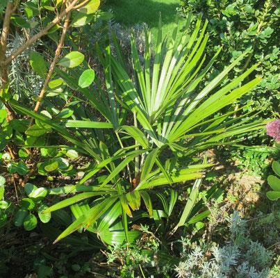Rhapidophyllum hystrix, Nadelpalme, September 2016