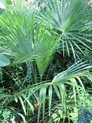 Trachycarpus fortunei (Chinesische Hanfpalme)