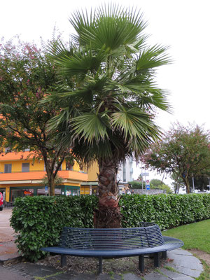Washingtonia robusta (Washington-Palme) in Muralto bei Locarno, Tessin (CH)