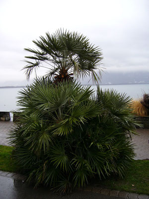 Chamaerops humilis in Montreux, Genfersee