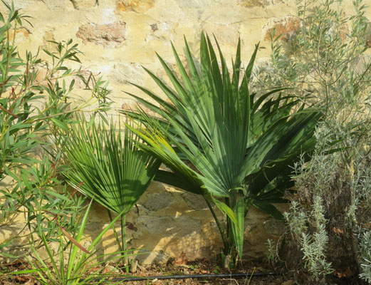 Sabal sp. (Bei beide Sabal-Palmen auf dem Foto ist die Art unbekannt)