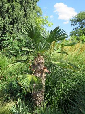 Trachycarpus wagnerianus (Wagners's Hanfpalme) im Botanischen Garten von Lyon
