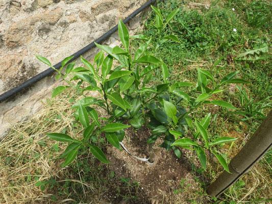 Citrus 'Yuzu' (Citrus ichangensis x Citrus reticulata var. austera)