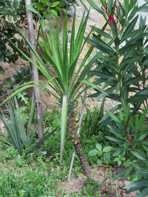 Yucca aloifolia (Spanisches Bajonett) im Burgund, August 2014