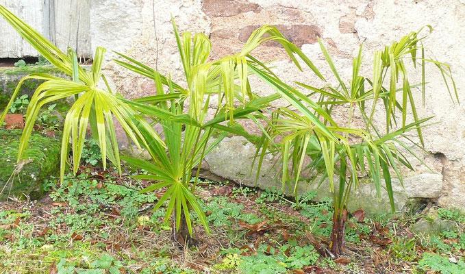 2x Trachycarpus fortunei im Dezember 2009 (Herkunft: Ausgewildert im Tessin)