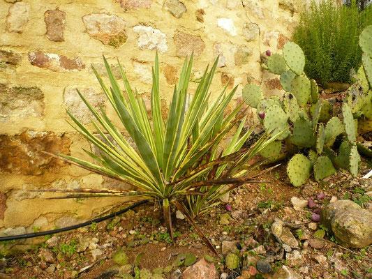 Yucca gloriosa variegata und Opuntia sp. (Meran)