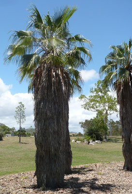 Washingtonia robusta mit Mantel aus alten Fächern, Palmetum, Townsville, Australien