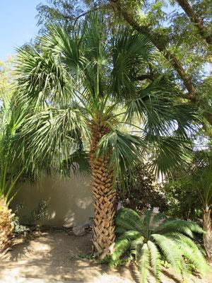 Sabal palmetto (Palmetto-Palme) in En Gedi, Israel