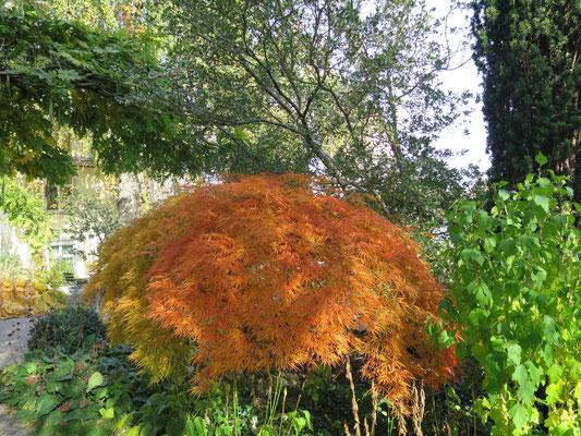 Acer palmatum mit Herbstfärbung, im Hintergrund alter Osamthus heterophyllus