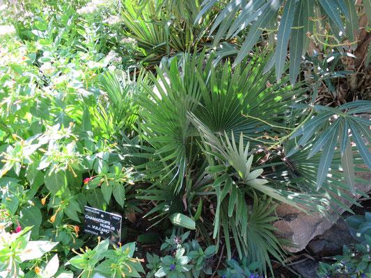 Chamaerops humilis var. vulcano (Vulcano-Zwergpalme) im Botanischen Garten von Lyon