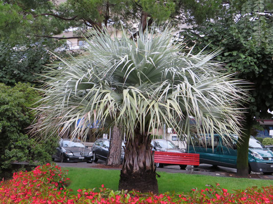 Jungpflanze von Brahea armata in Muralto bei Locarno (Tessin, September 2013)