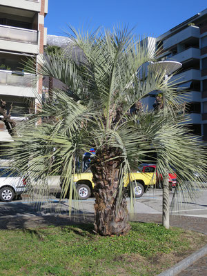 Butia odorata (Geleepalme) im Tessin