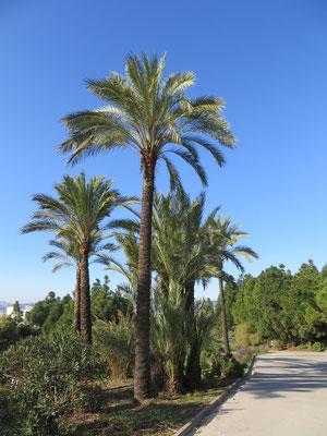 Phoenix dactylifera (Echte Dattelpalme) im Botanischen Garten Barcelona