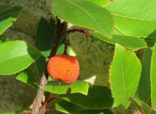 Arbutus unedo (Erdbeerbaum)