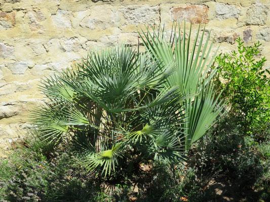 Chamaerops humilis und Sabal bermudana