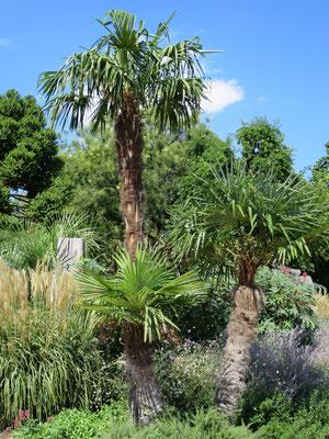 Trachycarpus fortunei (Chinesische Hanfpalme) im Botanischen Garten von Lyon